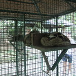 Caged civet cats, on this farm forced to have a diet of only coffee cherries