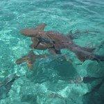 le snorkeling avec les requins sur la barriere de corail