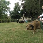 showing our sow, Bella, at Thornton show