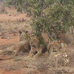 leonesse affamate allo tsavo est