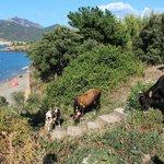 vacche occupano accesso spiaggia
