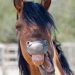 Spirit, dun Kiger mustang stallion