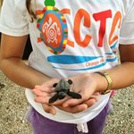 baby turtles before releasing them