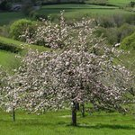 One of the apple trees in blossom in Lantallack's main orchard