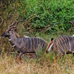 Lesser kudus shot during a game drive in Selenkay Conservancy.
