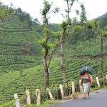 Tea plantation worker on roadside.