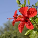 Lovely Hibiscus