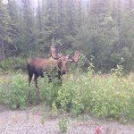 Great male moose right by the restaurant's driveway!