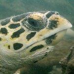 Turtle at Koh Rin