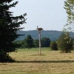 osprey nest near 16th tee