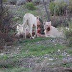White Lion Kill