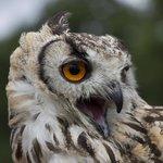 owl talking