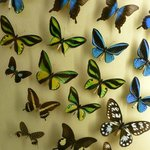 A huge collection and interactive butterfly display