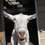 A goat!
