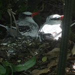 Red billed Tropic birds with chick