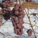 Auxerrois icewine grapes