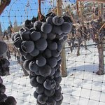 Lemberger icewine grapes