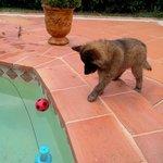 piscine et chien du propriétaire
