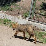un zorro que se habia escapado y se fue a pasear