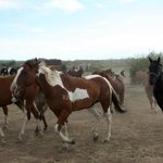 Horses returning to pasture after the ride