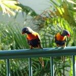 Lorakeets every morning on balcony.