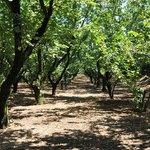 Hazelnut Trees