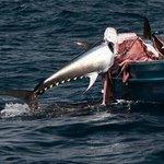 Thunfisch von Orca angefressen