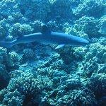 White tip reef shark at Molokini.