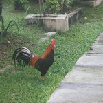 Charlie the resident rooster