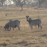Zebra grazing at the reserve