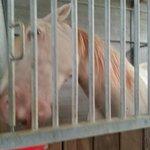 caballo albino, precioso!