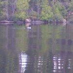 loons on lake