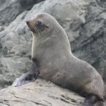 Young seal lion