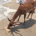 観光客のあなご飯を食べる鹿 a deer eating the grilled conger eel