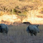 White Rhinos, Spioenkop Game Reserve (2/3): a little frisky, and their tales are up