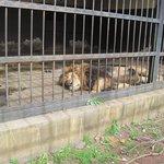 Sad lion in too small enclosure