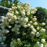 Beautiful hydrangea bush