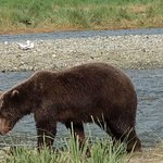 Alaskan brown bear at Katmai National Park