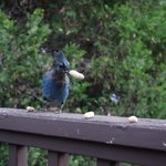 Stellar's Jays on our private balcony in the Merced room.