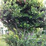 Harika Defne ağacı