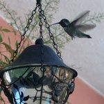 Male Costa's hummingbird on patio