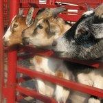 3 billy goats gruff?