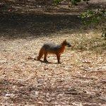 Island endemic fox