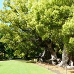 The camphor trees