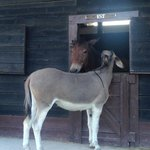 Asino e cavallo