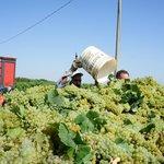 Grape harvest 2013