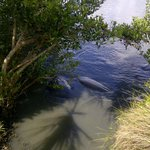 Manatees at nearby park