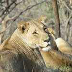 Final morning game drive, two female lions.