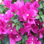 Beautiful Bougainvillea in the garden.