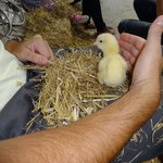 Chick stroking